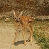 Brescia, uccidono mamma capriolo e il suo cucciolo: denunciati sette bracconieri