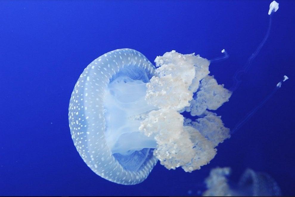 Tra bellezza e pericolo: in mostra a Milano l'universo trasparente delle meduse