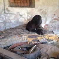 Monza: la storia di Little John, il mastino abbandonato nei rifiuti e salvato dall'Enpa
