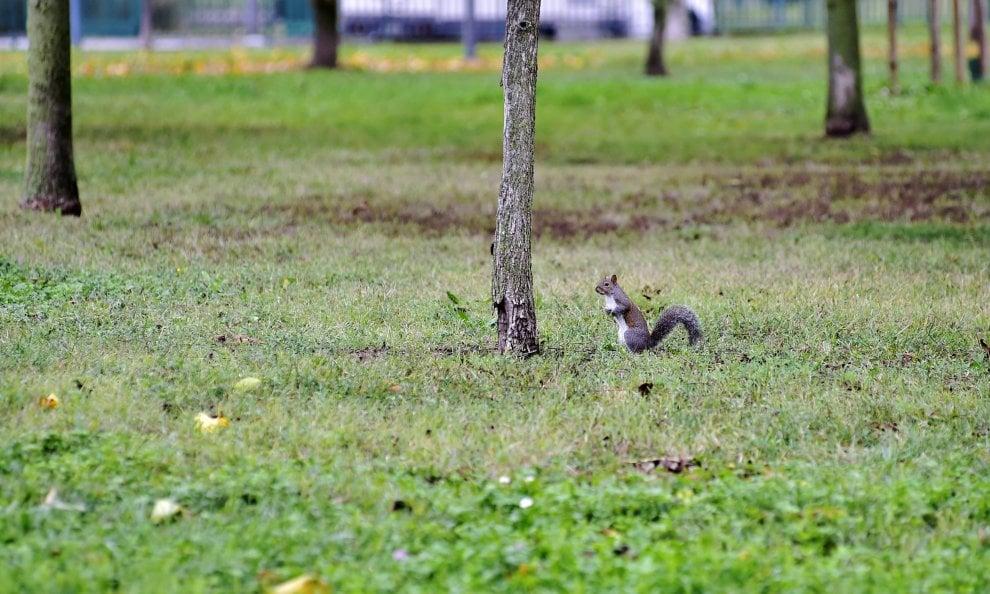 Milano, lo scoiattolo gioca a nascondino tra gli alberi del parco