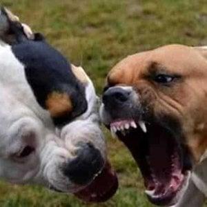 Lodi, scambiati per ladri e aggrediti dai loro pitbull: feriti padre, madre e 2 bambini