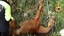 Bergamo, cavallo cade  in un fosso: il delicato  salvataggio dei pompieri