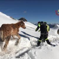 Sondrio, 13 cavalli bloccati nell'alpeggio sotto la neve: il salvataggio dei vigili del fuoco
