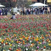 Il campo di tulipani più famoso d'Italia cambia indirizzo: da Cornaredo ad Arese, è sempre 'u pick'
