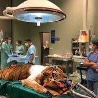 Lodi, operata la tigre di 200 chili: Obelix adesso sta bene