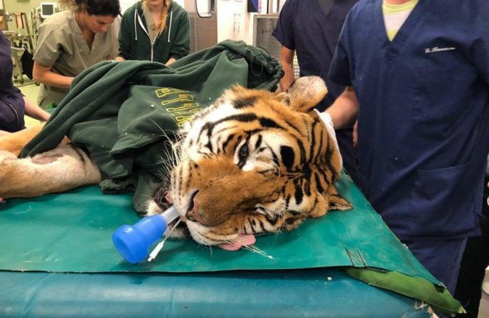 Lodi, l'intervento eccezionale su una tigre di due quintali: gli scatti in sala operatoria
