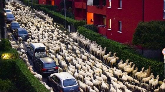 Transumanza delle pecore a Lecco, il gregge si sbafa le siepi condominiali: le foto virali