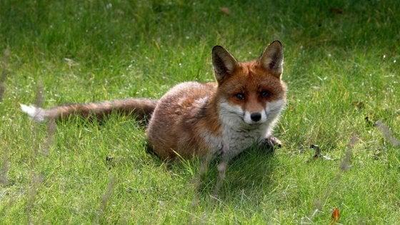 Via alla caccia alla volpe e tesserino da cacciatore a 17 anni: cambia la legge in Lombardia