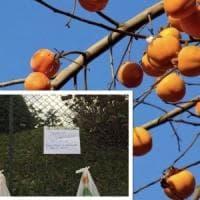 A Lecco come nel Nord Europa, l'iniziativa anti spreco: cachi in regalo appesi al cancello