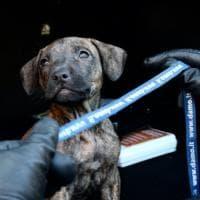 Cucciola di pitbull trovata tra baracche e rifiuti del bosco della droga di Milano: 'Rogo' adesso cerca casa