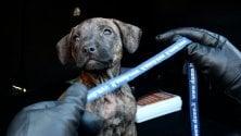 Cucciola di pitbull trovata nel boschetto della droga: 'Rogo' adesso cerca casa