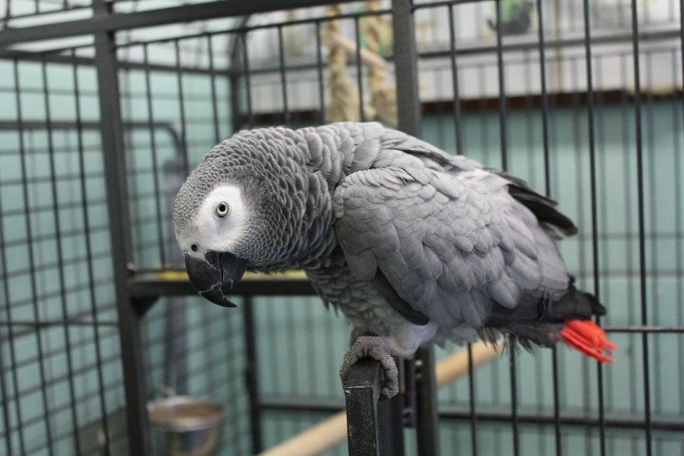 Milano, pappagallo di specie protetta scappa e viene ritrovato dopo due mesi: denunciata la proprietaria