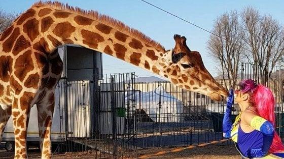 Animali da circo al freddo a Brescia: il tribunale dissequestra giraffe, zebre e cammelli