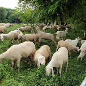 Troppa nebbia nel milanese, pastore si perde e smarrisce il gregge di pecore
