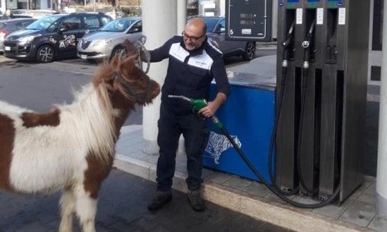 """A passeggio con il lama nel centro di Varese: """"Così anche i bambini di città possono vedere gli animali"""""""
