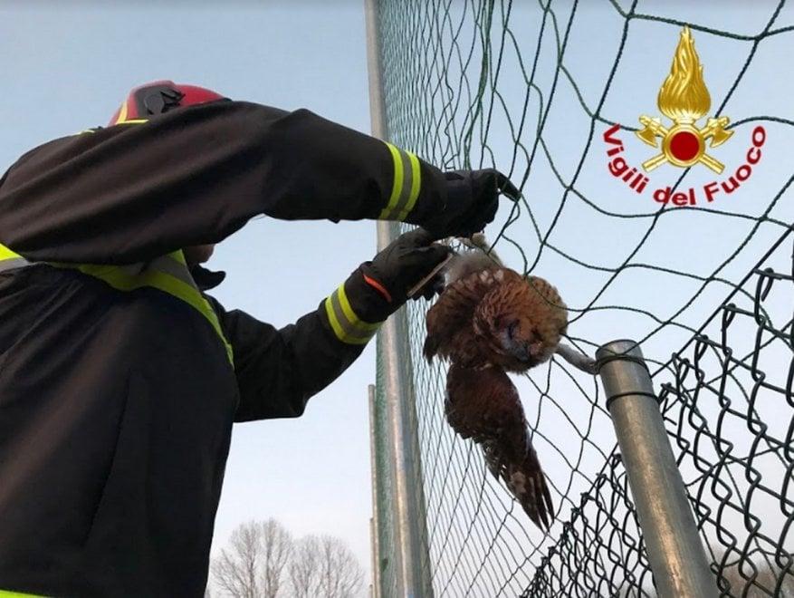 Il piccolo gufo in trappola nella rete del campo sportivo: salvato dai vigili del fuoco nel Varesotto