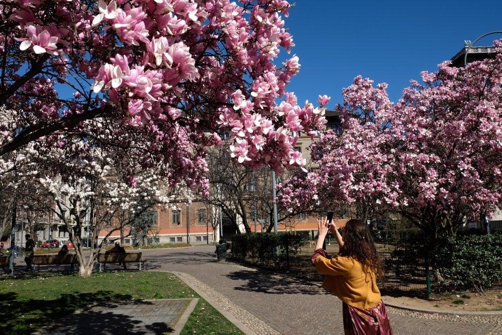 A Milano lo spettacolo delle magnolie in fiore: tanta bellezza non è passata inosservata