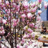 Benvenuta primavera: a Milano gli alberi in fiore si specchiano nei grattacieli