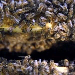 Strage di api nel Varesotto, uccisi 800mila insetti