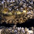 Strage di api nel Varesotto uccisi 800mila insetti