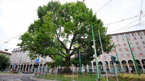Operazione salvataggio per la quercia storica di piazza XXIV Maggio a Milano: un esoscheletro per sostenerla