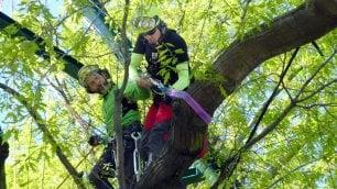 Uomini ragno in azione sulla quercia di piazza XXIV Maggio