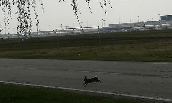 Malpensa, la lepre si incanta a guardare gli aerei, poi corre sulle piste: lo scatto è virale