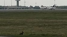 Malpensa, la lepre  si incanta a guardare  gli aerei: lo scatto è virale