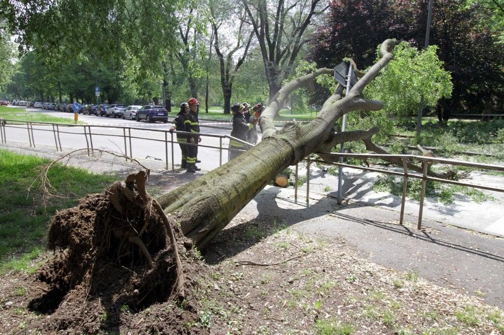 Milano, crolla un albero alto 10 metri