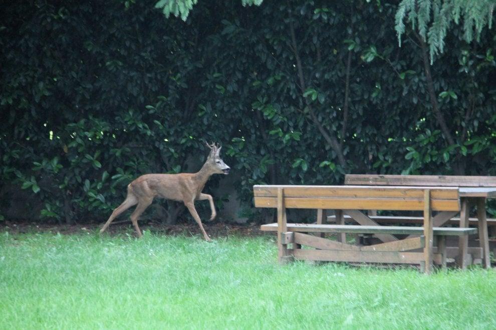 C'è un capriolo nel cortile della scuola: il fotoracconto del salvataggio