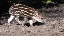 Benvenuta Lodi: è nata  la baby tapira del parco delle Cornelle