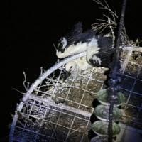 Salvato cucciolo di cicogna, si era incastrato in un traliccio