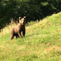 Orso stremato dal caldo nel Bresciano: scende a valle in cerca di acqua e cibo