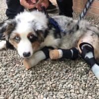 Colletta web per Alex, il cane senza zampe che aspetta le protesi bioniche