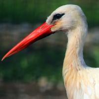 Lodi, cicogna bianca uccisa a colpi di fucile: stava costruendo il nido per tre piccoli