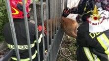 Capriolo resta incastrato nella cancellata: salvato dai vigili del fuoco