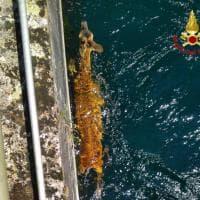 Capriolo cade nel canale: i vigili del fuoco di Busto Arsizio lo salvano