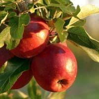Parte in ritardo la raccolta delle mele: