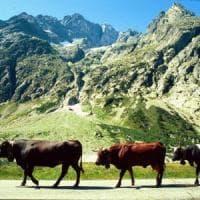 Finti pascoli sugli alpeggi lombardi per ottenere fondi: 98 denunciati per