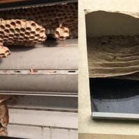 Cinisello, torna dalle vacanze e trova sulla finestra un maxi favo di calabroni: rimosso
