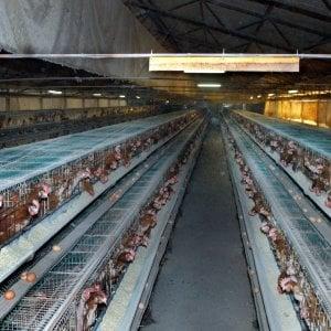 Brescia, lasciate al caldo per ore nell'allevamento: muoiono 10mila galline