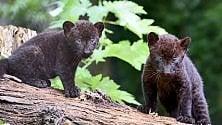 Parco Cornelle, nati due cuccioli di pantera: contest su Facebook per scegliere il nome