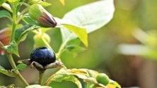 Intossicati dalla verdura comprata al mercato: tra le foglie piante velenose