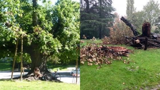 Addio alla quercia Montale dei giardini Montanelli: l'albero monumentale crollato dopo una lunga malattia