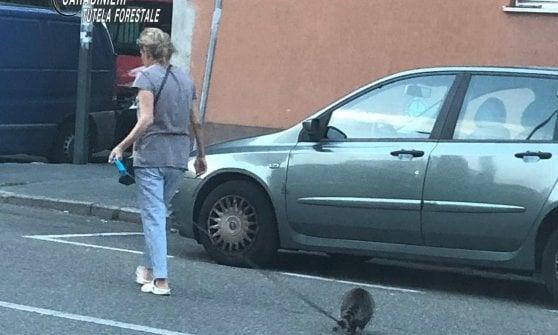 Milano, per strada e al ristorante con il procione al guinzaglio: sequestrato l'animale