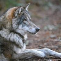 Avvistato un lupo nel Lodigiano, è la prima volta dopo 254 anni