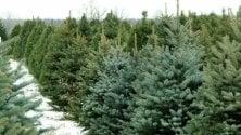 Finito il Natale, nessuno ricicla gli alberi, appello di Legambiente Lombardia