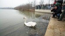 Brutus torna in acqua: il cigno mascotte del Parco Nord rimesso nel lago dopo le cure dei volontari