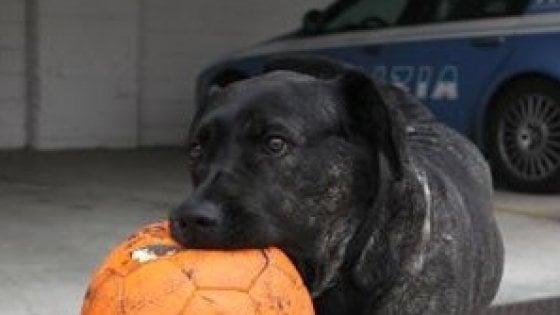 """Addio al pitbull Gilda, da 13 anni mascotte del commissariato: """"Dedichiamole l'area cani del quartiere"""""""