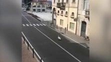 Il cigno Pierino padrone del lungolago di Luino